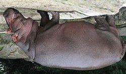 250px-Nijlpaard[1].jpg