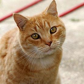 275px-Cat03.jpg