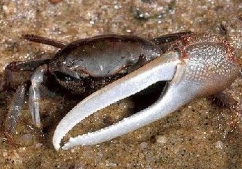 Fiddler_crab[1].jpg