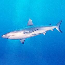 250px-Tiburón.jpg